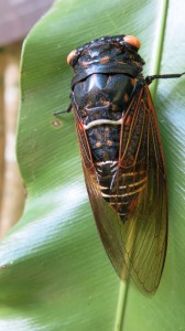 Cicada - part of the daily orchestra here.