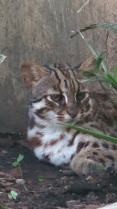 Resident Leopard Cat