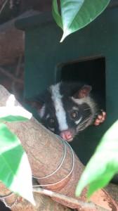 Resident Masked Palm Civet