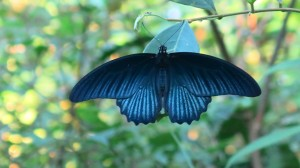 Stunning Cameron Highlands butterfly - they're everywhere!