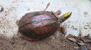 Endangered Golden Coin Turtle. Part of the Kadoorie breeding program.