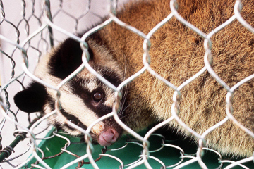This photo dated 07 December 2002 shows a civet sitting inside a cage at a market in Guangzhou, in the southern Chinese province of Guangdong.